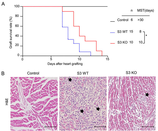 Deletion of Smad3 from the recipients significantly improves cardiac allograft rejection.