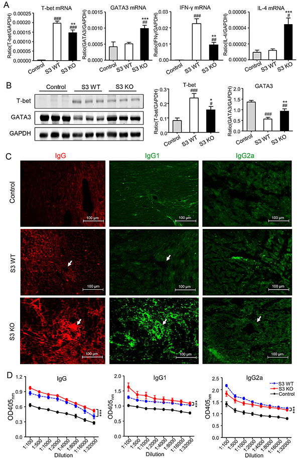 Smad3-deficient mice are more likely to suffer a Th2-type immune response, while suppressing Th1-type immune response in cardiac allografts.