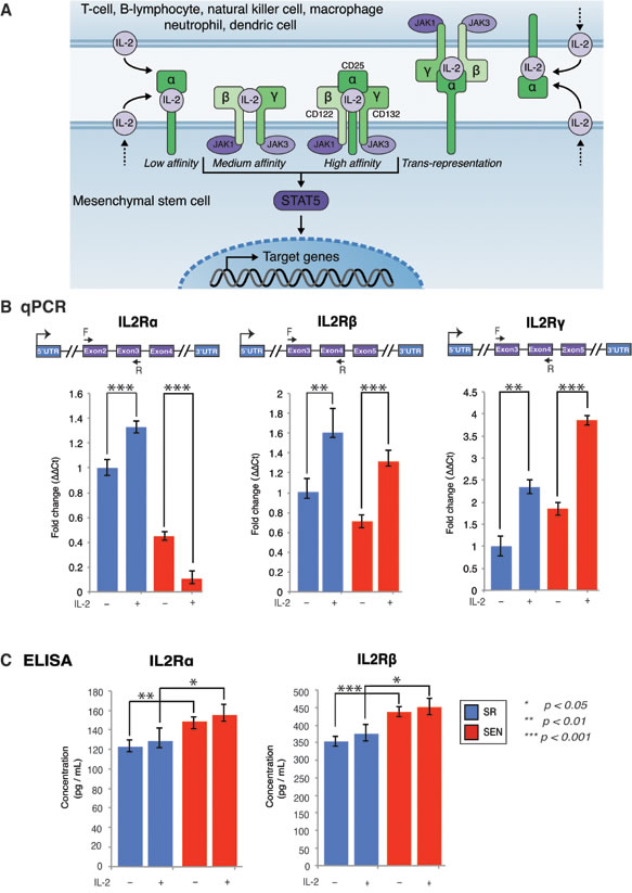 Gene expression of IL-2 receptor isoforms and their association with membrane in self-renewing (SR) and senescent (SEN) hADSCs primed with IL-2.