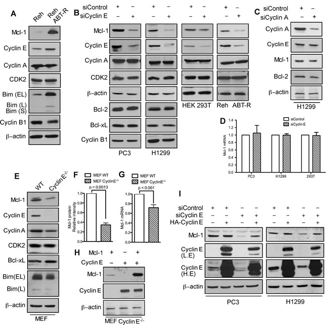 Mcl-1 protein levels are regulated by cyclin E/Cdk2.