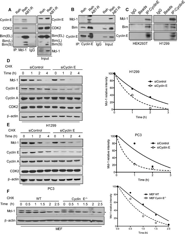 Association with the cyclin E/Cdk2 complex regulates Mcl-1 stability.