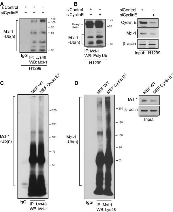 Cyclin E regulates Mcl-1 ubiquitination.