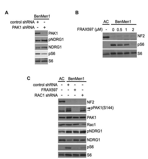 PAK1 regulates mTORC1 signaling independent of mTORC2-SGK1.