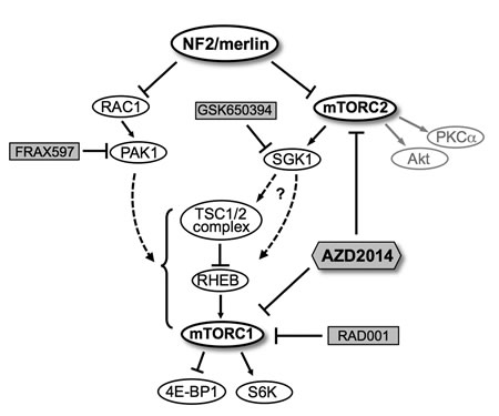 A schematic model for regulation of mTORC1/mTORC2 signaling pathways by NF2/merlin.