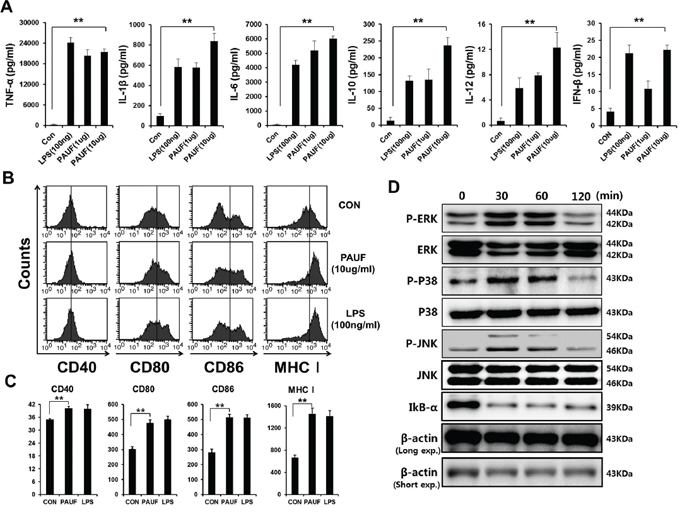 DCs maturation, activation and common TLR signal pathway activation by PAUF protein.