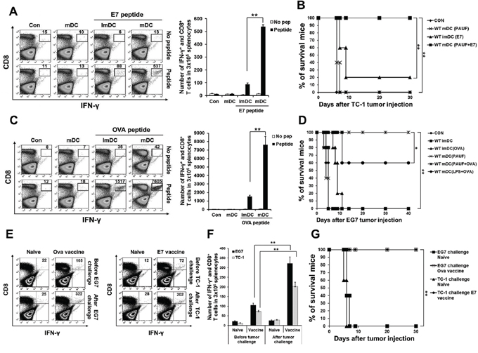 PAUF mediated DC vaccine can generate antigen specific CD8+ T cell and memory CD8+ T cell immune response and has tumor prevention effects.