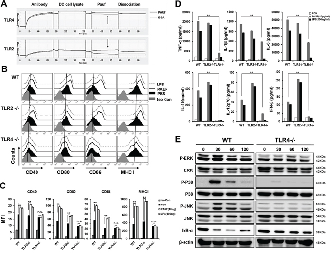 PAUF mediated DC activation and maturation depend on TLR4.