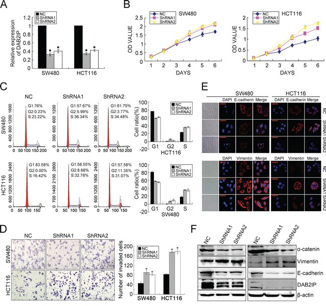 DAB2IP KD promotes proliferation, invasion and EMT in CRC cells.