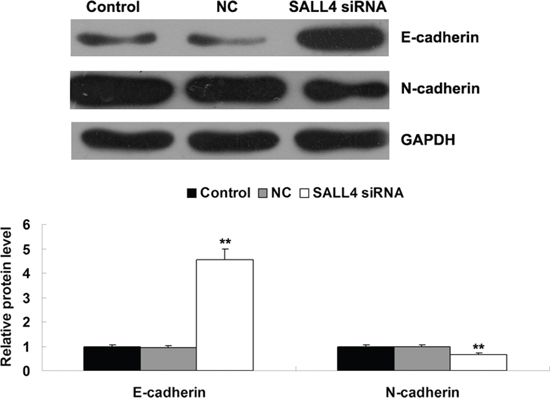 Western blot was conducted to determine the protein levels of E-cadherin and N-cadherin in ICC-9810 cells transfected with SALL4 siRNA or non-specific siRNA as negative control (NC). GAPDH was used as loading control. Non-transfected ICC-9810 cells were used as Control. **P < 0.01 vs. Control.