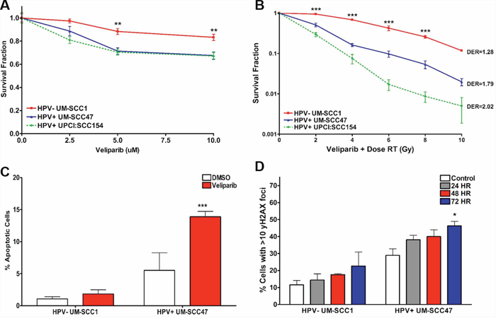 HPV+ HNSCCs are sensitive to PARP inhibition in vitro.