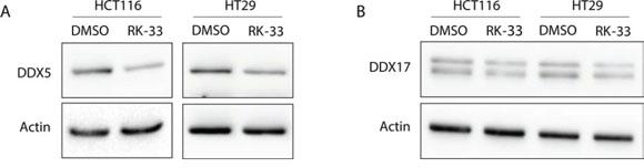 DDX5 and DDX17 expression after treatment with RK-33.