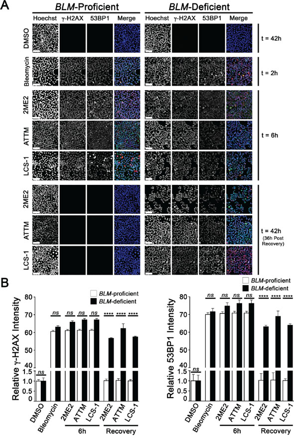 DNA DSBs persist in BLM-deficient cells treated with 2ME2, ATTM and LCS-1.