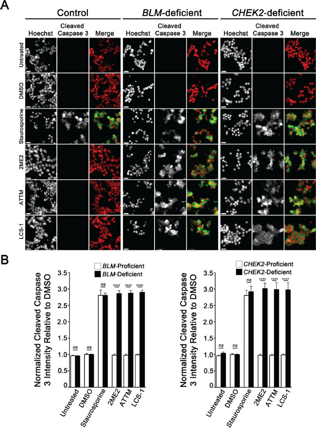 2ME2, ATTM and LCS-1 induce apoptosis in BLM- and CHEK2-deficient cells.