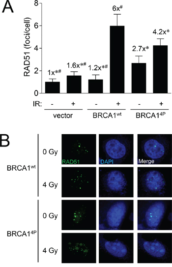BRCA1 (4P) increases the basal level of RAD51 foci and reduces radiation-induced foci.
