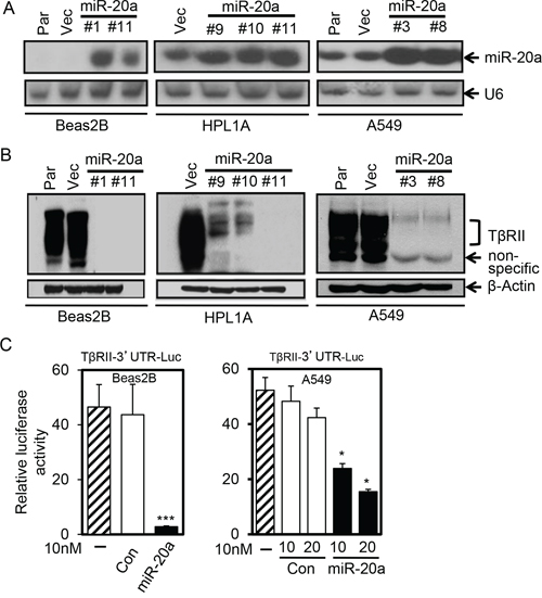MiR-20a inhibits TβRII expression in lung cells by binding to its 3′-UTR.