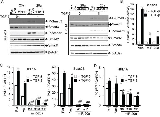 MiR-20a attenuates TGF-β/Smad signaling.
