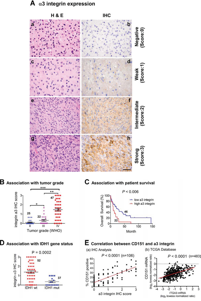 Relationship between α3 integrin, WHO tumor grade, IDH1 gene status, patient survival and CD151 expression in a TMA-based glioma patient cohort and TCGA glioblastomas.