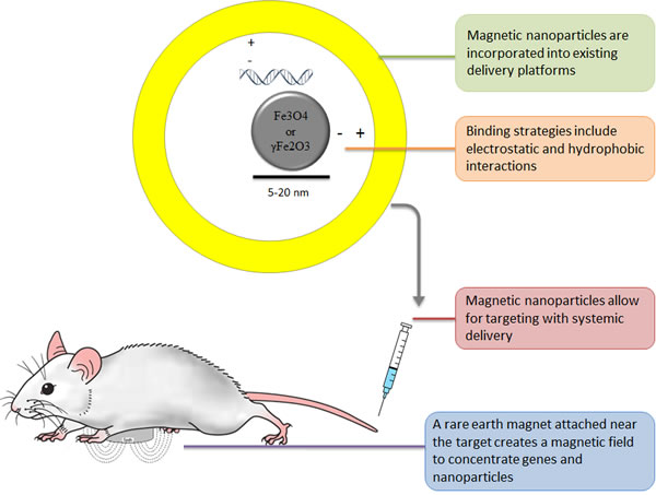 Overview of In Vivo Magnetically Targeted Gene Therapy.