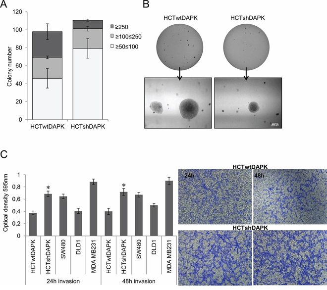 Colony formation and invasion assay of HCTshDAPK and HCTwtDAPK cells.