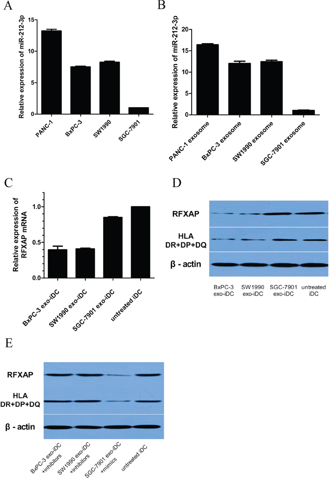 Pancreatic cancer derived exosomal miR-212-3p inhibited RFXAP and MHC II of iDC.