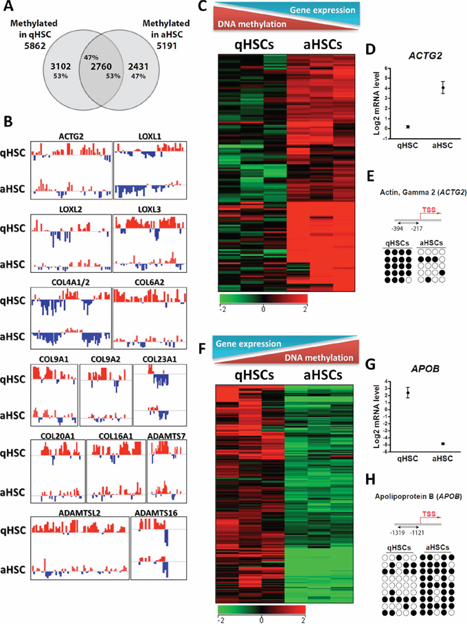 Culture-induced HSC activation reprograms promoter DNA methylation.