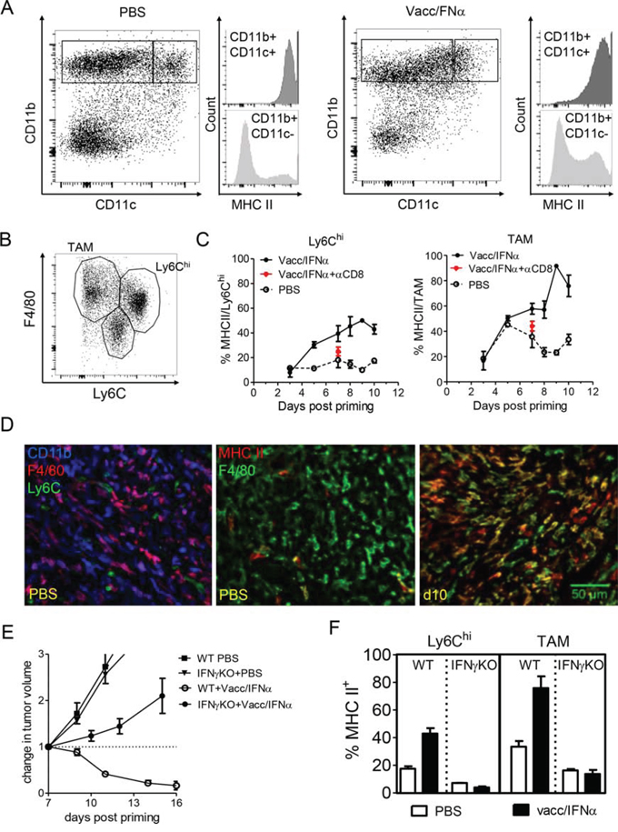 Local activation of F4/80+ myeloid cells is promoted by the interactions with IFN-γ producing CD8 T cells.