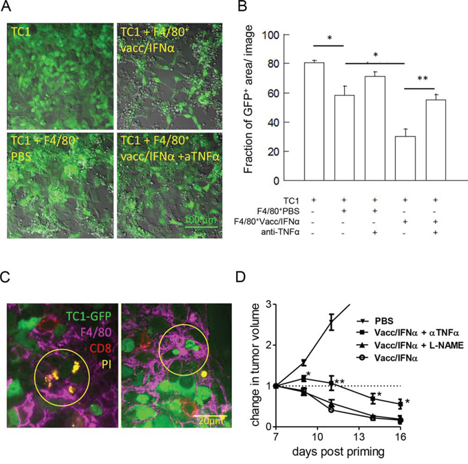 Activated-myeloid cells contribute to the killing of TC1-tumor cells by TNF-α release.