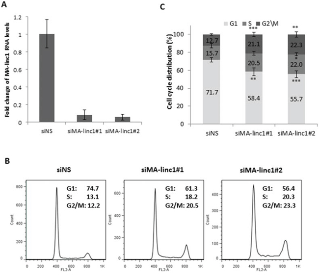 MA-linc1 affects cell cycle distribution.