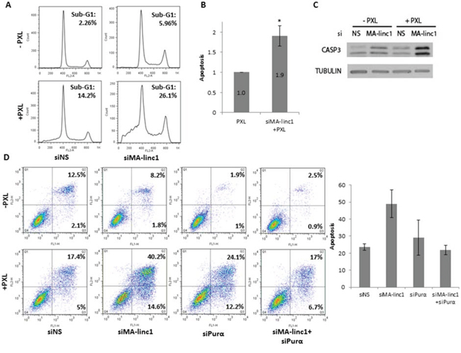 Silencing of MA-linc1 enhances Paclitaxel-induced apoptosis.