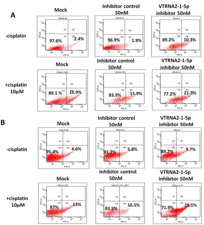 VTRNA2-1-5p inhibition promotes cancer cell apoptosis and enhances cisplatin-induced cervical cancer cell apoptosis.