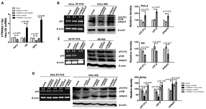 VTRNA2-1-5p affects the expression of endogenous p53 in HeLa and SiHa cells.
