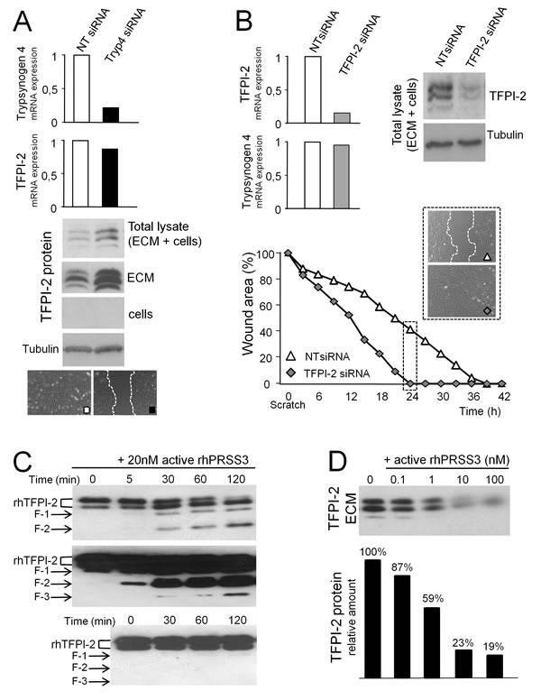 Trypsinogen 4 decreases TFPI-2 availability.