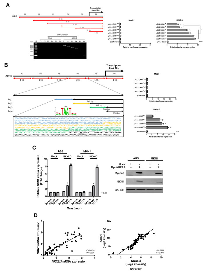 Effects of NKX6.3 on GKN1 expression.