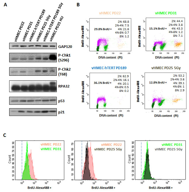 vHMECs accumulate DNA damage with PDs and slowdown DNA replication.