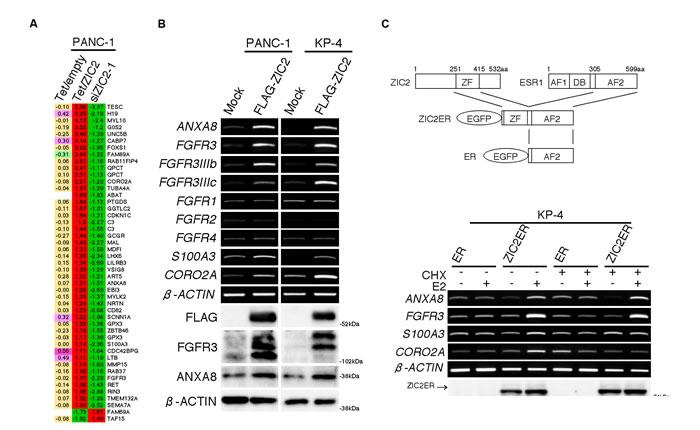 ZIC2 up-regulates ANXA8 and FGFR3.