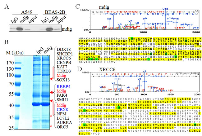 Proteomic investigation of the mdig-interacting proteins.