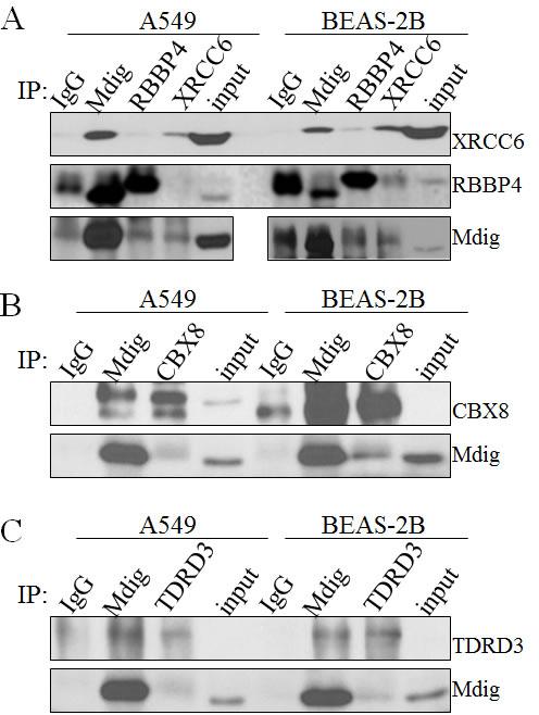 Validation of mdig interacting proteins.