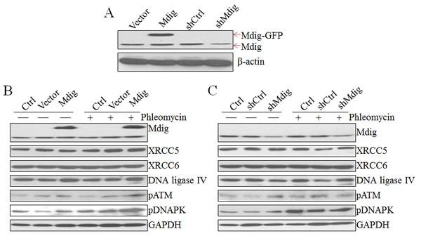 Regulation of the NHEJ repair signaling by mdig.
