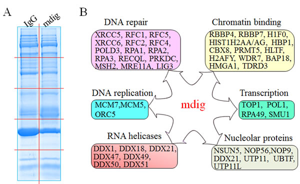 Functional pathways of mdig-interacting proteins.
