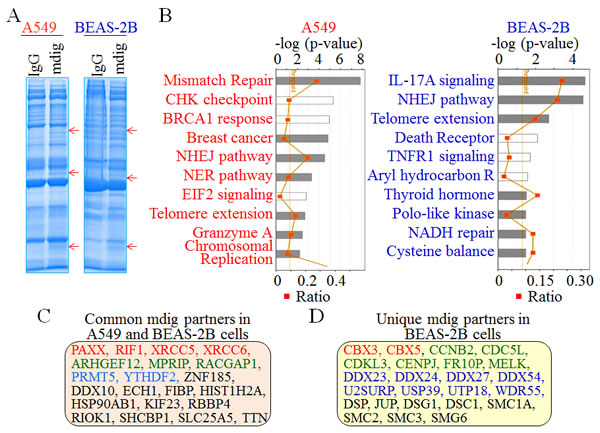 Comparison of the mdig-interacting proteins between A549 cells and the BEAS-2B cells.
