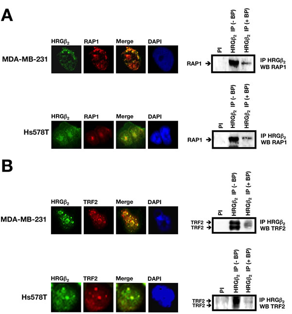 HRGβ2 co-localizes and co-immunoprecipitates with RAP1 and the RAP1-interacting partner TRF2 in breast cancer cells.
