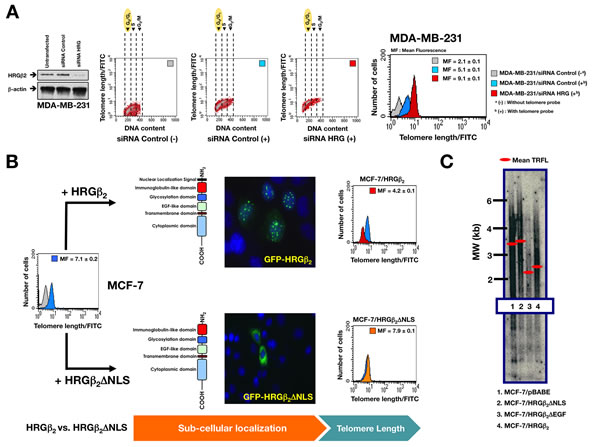 Nuclear HRGβ2 negatively regulates telomere length in breast cancer cells.