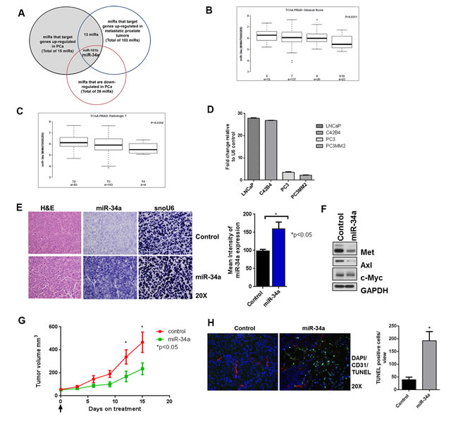 miR-34a is downregulated in prostate cancer and its delivery decreases sub-cutaneous tumor growth.