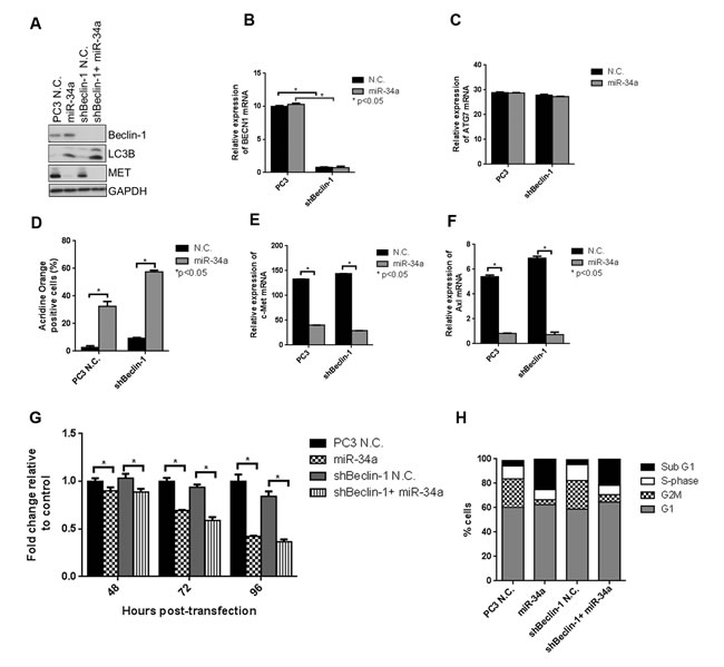 miR-34a induces autophagy, cell cycle arrest and decreases cell proliferation independently of Beclin-1.