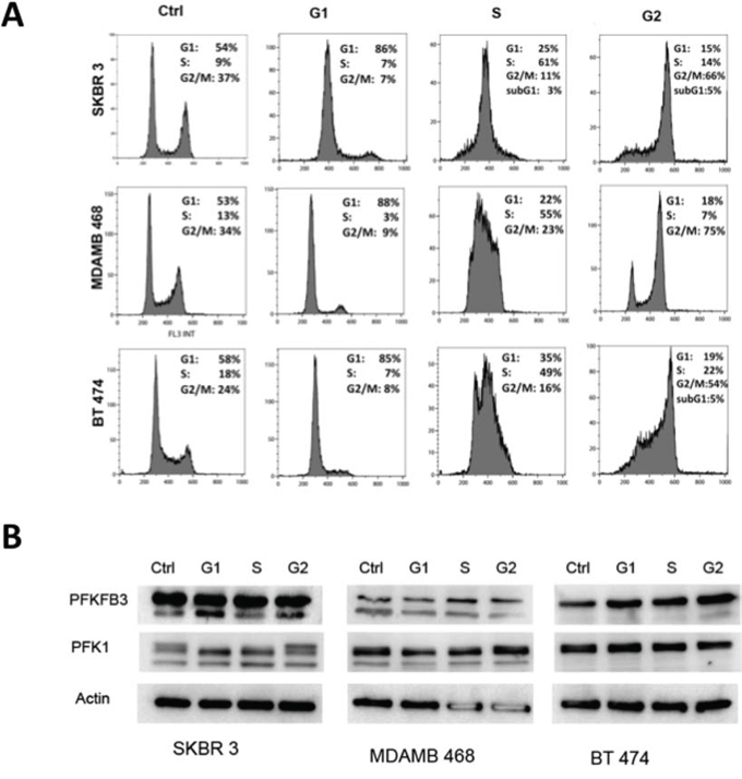 PFKFB3 and PKF1 expression in synchronized breast cancer cells.