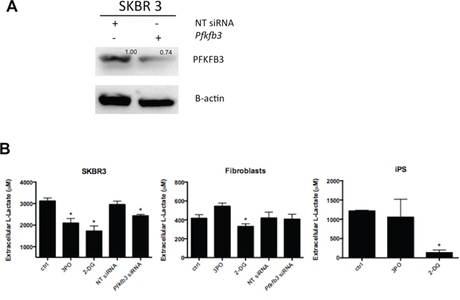 Effect of PFKFB3 knockdown on lactate production.