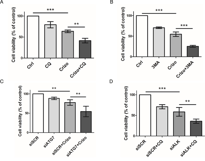 Effect of pharmacological or molecular inhibition of the ALK oncogene combined with inhibition of the autophagic process on Karpas-299 cell viability.