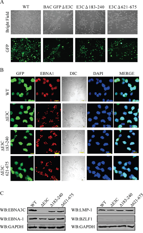 Characterization of BAC EBV-ΔE3C, EBV-ΔE3C 183–240 and EBV-ΔE3C 621–675 stable 293T cell lines.