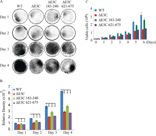 Cell growth assay for BAC EBV-ΔE3C, EBV-ΔE3C 183–240 and EBV-ΔE3C 621–675 stable 293T cell lines.
