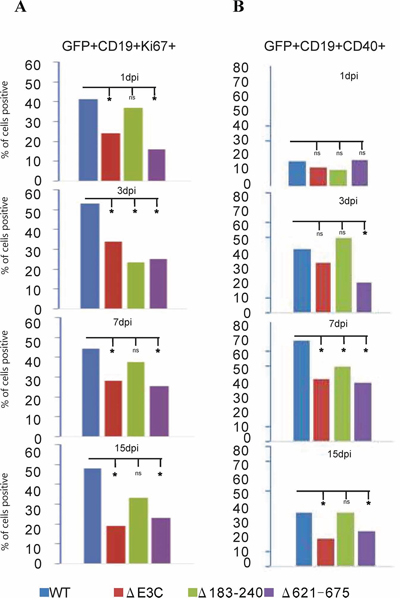 B-cell activation assays of BAC EBV-ΔE3C, EBV-ΔE3C 183–240 and EBV-ΔE3C 621–675 recombinant viruses infected B cells.